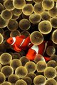 3D Golden Clown Fish android wallpaper