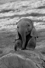 Cute Baby Elephant Android Wallpaper