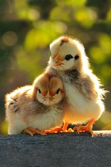 Cute Chicks Android Wallpaper