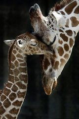 Cute Giraffe Love Android Wallpaper