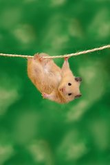 Cute Hamster Acrobat Android Wallpaper