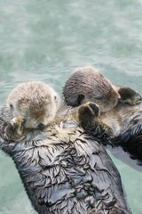 Cute Otters Holding Hands Android Wallpaper