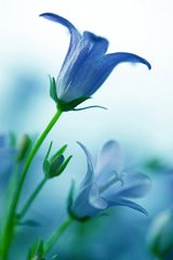 Flower Blue Bellflower Android Wallpaper