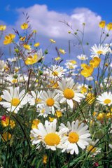Flower Daisies Android Wallpaper