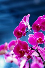 Flower Fuschia Orchids Android Wallpaper