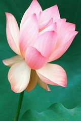 Flower Lotus Android Wallpaper