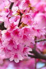 Flower Pink Cherry Blossoms Android Wallpaper