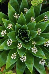 Flower Pipewort Eriocaulon Android Wallpaper