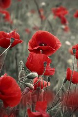 Flower Poppies Android Wallpaper