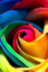 Flower Rainbow Rose Android Wallpaper