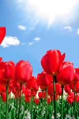 Flower Red Tulips Android Wallpaper