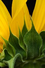 Flower Sunflower Android Wallpaper