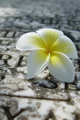 Flower Tribute White And Yellow Android Wallpaper