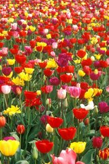 Flower Tulips Android Wallpaper