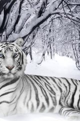 White Tiger Android Wallpaper